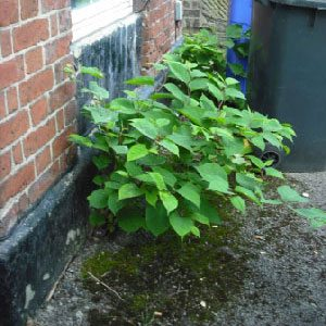 A wall with Japanese Knotweed - how to sell any house - Mark King Properties